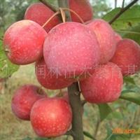 昌红苹果苗 苹果树苗