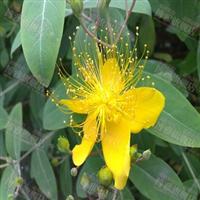 金丝桃、金丝梅、观花观叶灌木、地被花灌丛、园林绿化灌木