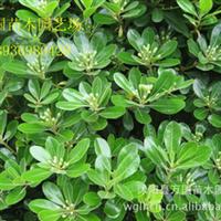 【林木种子】早熟禾种子 高羊茅种子 紫羊茅种子 草坪种子批发