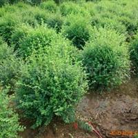 供应绿化苗木 球类植物 各种球类植物 小叶水腊球