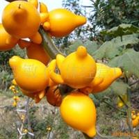 供应黄金果--种子(图)