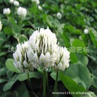 供应进口草籽 白三叶 白车轴草 白三叶种子