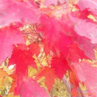 供应进口美国红枫,质优价低,规格齐全,红枫种子