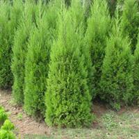 批发【塔柏】【桧柏】【蜀侩】【陕西塔柏】陕西周至园林绿化苗木