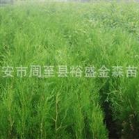 批发【侧柏】【营养钵侧柏】陕西园林绿化苗木【侧柏】供应商