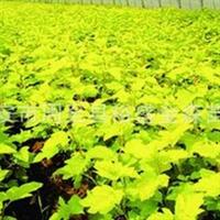 批发【金叶风箱果】【紫叶风箱果】陕西园林绿化苗木/周至苗木