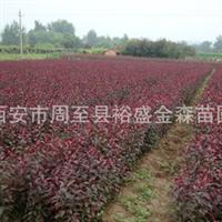 批发【紫叶矮樱】绿篱/色带/陕西园林绿化苗木【营养钵紫叶矮樱】