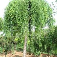 河北供应二至十五公分龙爪槐苗木,另有多种绿化苗木低价格销售。