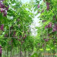 供应胸径2-20CM优质毛刺槐。