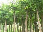 河北保定杜仲苗木基地供应2-20CM优质杜仲苗木。