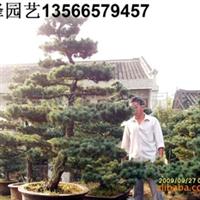 五针松盆景 五针松盆景出售 造形五针松 盆栽五针松 五针松苗木