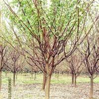 红梅 骨里红红梅,高接红梅,原生红梅乔木,绿化乔木