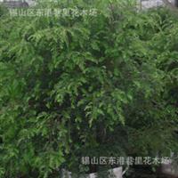 《无纺布容器大苗》长期供应批发优质极品红豆杉苗木桩头盆景