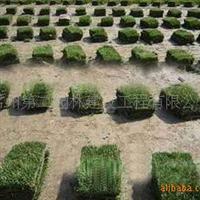 绿化草坪狗牙根草坪大量供应