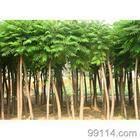 绿化苗木河北苗木保定苗木大乔木火炬树火炬苗木基地价格平头火炬
