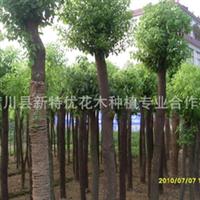 本基地供应各种规格香樟,移植香樟