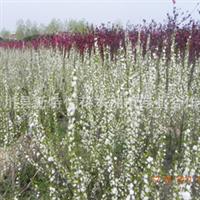 本基地供应各种规格苗木榆叶梅,珍珠梅,红梅,绿梅,腊梅