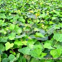 销售:中华常青藤 中华常春藤等各类藤本植物