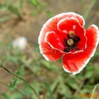 供应 - 虞美人种子 花卉种子