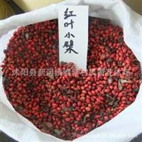 基地直销红叶小檗种子 红叶小波种子 彩色灌木 紫叶小檗种子