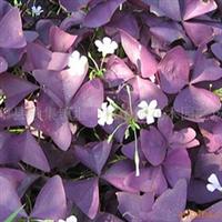 供应- 紫叶红花草- 紫叶酢浆草 - 彩色地被花卉