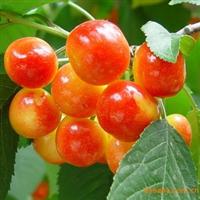热销优质樱桃种子,山东樱桃种子,青岛樱桃种子