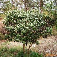 供应精品苗木
