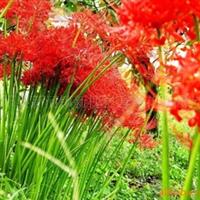 供应红花石蒜黄花石蒜白花石蒜 彼岸花种苗 (蔓珠沙华)