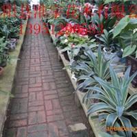 供应各种规格盆景、1.3米五针松、牛舌兰
