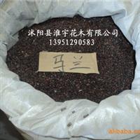 批发原装进口高档马兰种子(图)