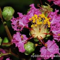 厂家供应优质紫薇 大批量生产  欢迎垂询