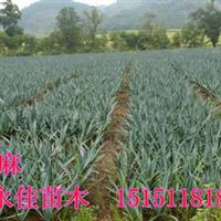 【低价销售】苗木:10万棵剑麻、别名丝兰、凤尾兰、大小规格齐全