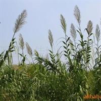 【大量供应】湿地绿化苗木----芦苇,量大优惠