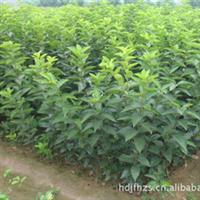 供应优质高产板栗树苗、板栗实生苗