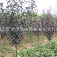 合作社供应紫叶李树苗、高原之火海棠、北美海棠、欧洲红栎海棠