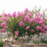 厂家供应优质紫薇 品种优良  欢迎垂询