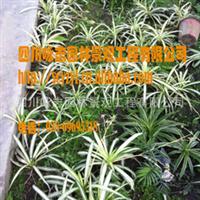 供应家庭去**首选植物和地被绿化彩叶植物金边吊兰青叶吊兰