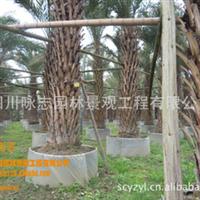低价出售中东海枣2M--3.5m银海枣幼苗便宜处理裸干高2--3.5M