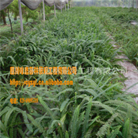 低价供应 绿化用苗 肾蕨(蜈蚣草)