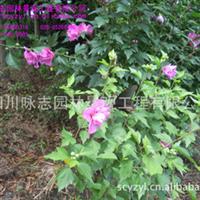 大量批发供应木槿,无穷花,沙漠玫瑰