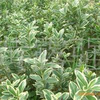 绿化苗木 金边七里香