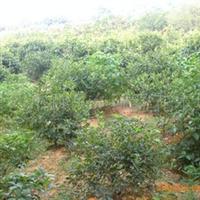 批发供应大量高品质海桐(图)