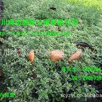 低价批发金边六月雪,碎叶冬青、白马骨、素馨、悉茗 10---45公分