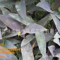 大量供应草花地被,水生植物,紫露草.:紫鸭趾草、紫叶草