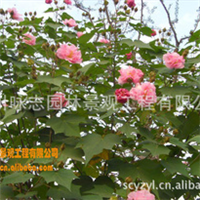 木芙蓉系列产品供应3---15公分木芙蓉