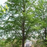 供应15公分全冠带土球的刺槐