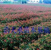 低价批发红叶红楠容器杯装小苗,价格优惠,红叶石楠,优质红石楠
