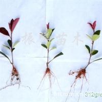 长期(低价特卖)工程小苗红叶石楠,小苗粗壮成活高, 红叶石楠
