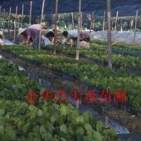 长期低价批发工程小苗红叶石楠,小苗粗壮成活高, 支付宝交易
