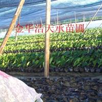 特价批发工程小苗红叶石楠,工程专用苗木,优质优价,红叶石楠苗